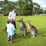 Ручные кенгуру