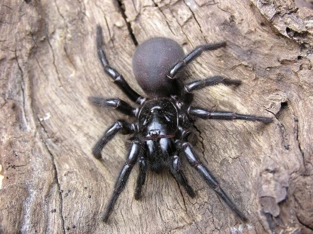 Сиднейский ворончатый паук (Sydney Funnel web spider)
