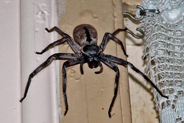 Пауки в Австралии
