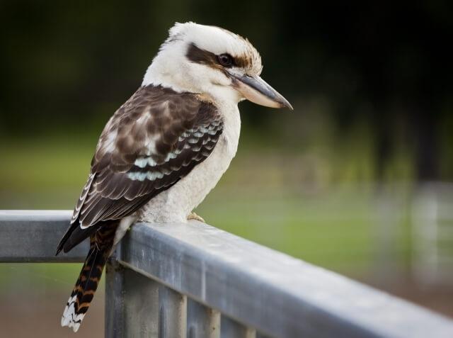 Кукабара – смеющаяся птица Австралии