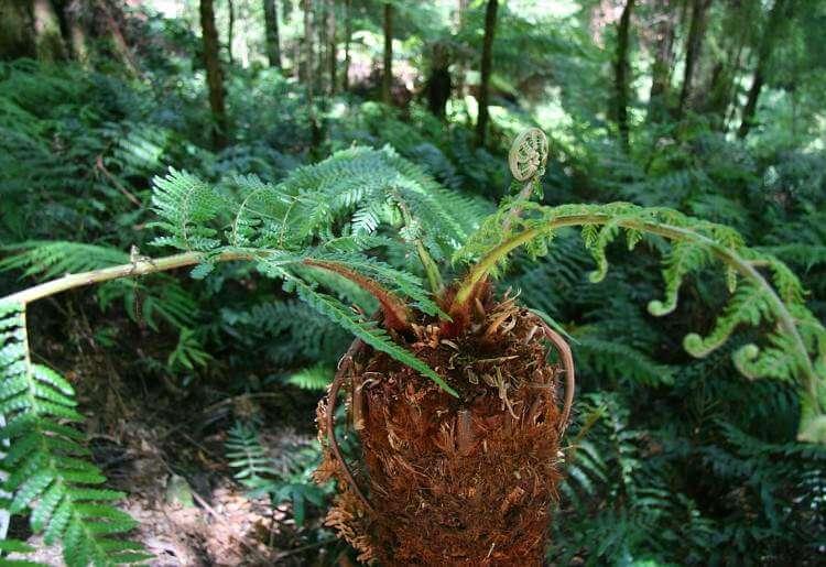 Леса и редколесья юга Австралии