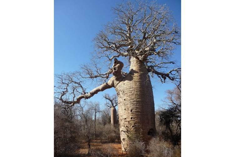 Боабы — деревья, проклятые богами