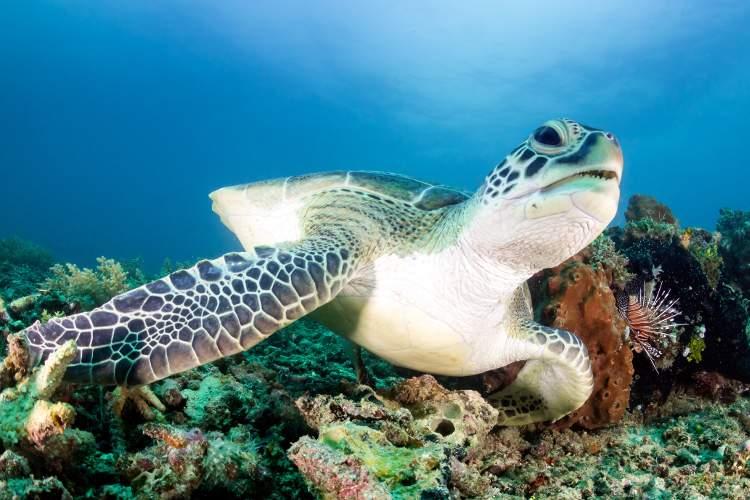 Морские черепахи у побережья Австралии