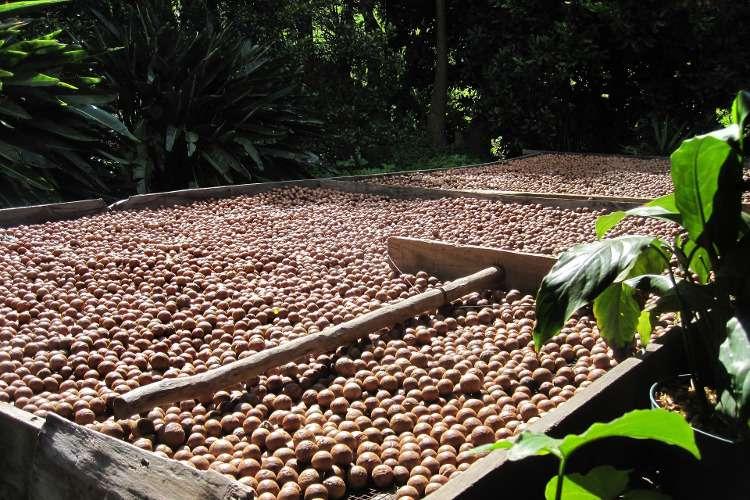 Сбор орехов макадамия в Австралии